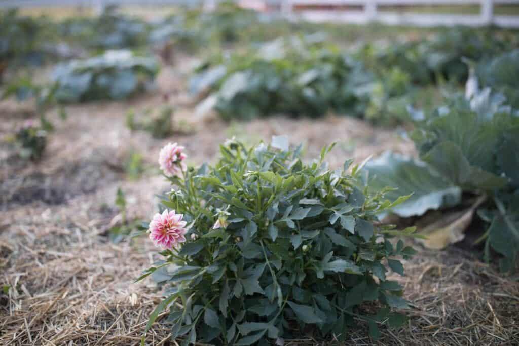 summer vegetable garden june garden tour farmhouse on boone dahlias